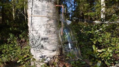 Sav tappas på flaska ur en björk via ett sugrör.