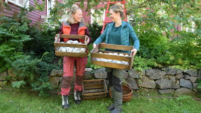 Kaksi naista puutarhassa käsissään puulaatikolliset omenoita.