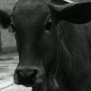 Lehmä Kekran kylässä Intiassa