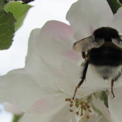Pölyttäjä omenankukassa