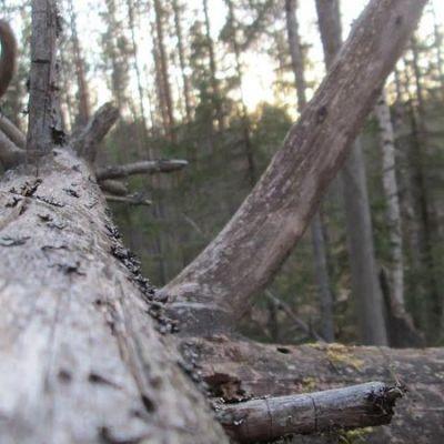 Kaatuneen puun runko