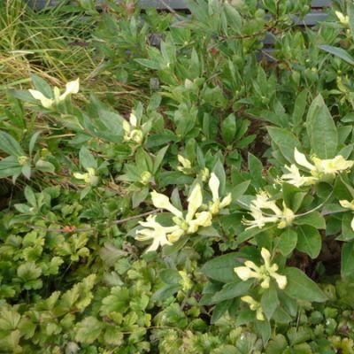 Mikkelipuiston kelta-atsalea sekosi vuodenajoista. Se on varhaisen kevään kukkija, joka vetää nyt syyskuussa huikean uusintanäytöksen.