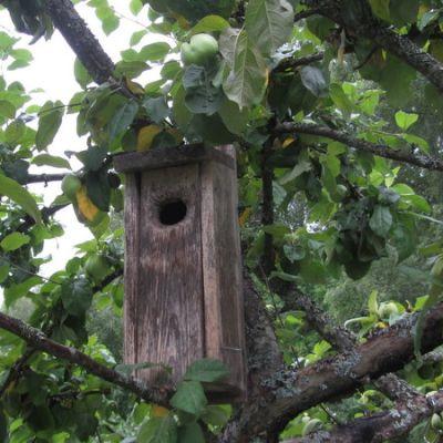 Vanha linnunpönttö omenapuussa.