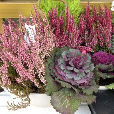Kukkakaupan pöydällä marjakanervaa, Callunaa ja koristekaaleja.