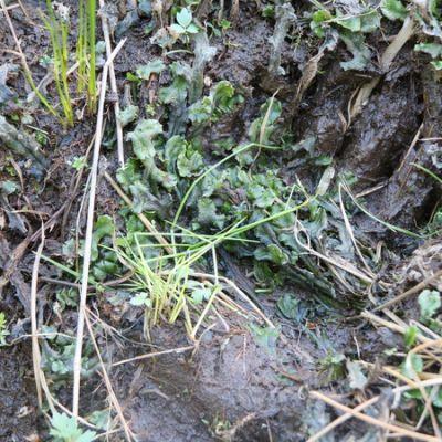 Karhun tassun jälki mudassa.