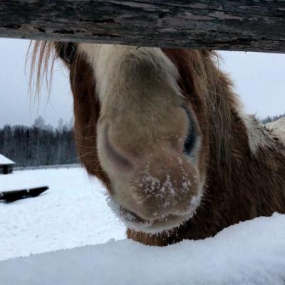 Hevonen katselee aidan raosta.