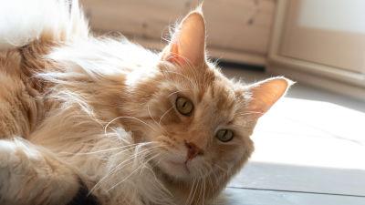 En ljus långhårig katt ligger i solsken på ett golv och tittar in i kameran med sina gröna ögon.