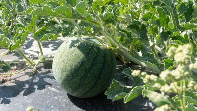 En grön rund vattenmelon som växer i plantan.