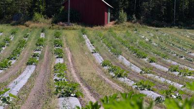 Ett torrt odlingslandskap, i raderna av gröna växter syns stora tomma hål.