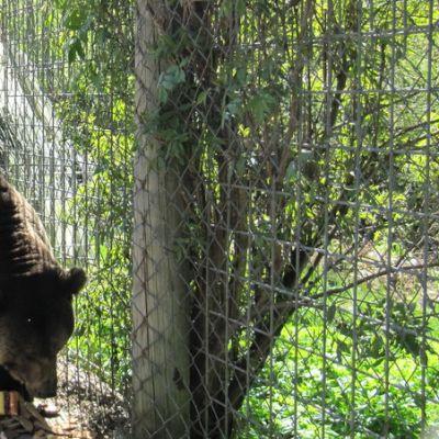 Riku-karhu syömässä leipiä.