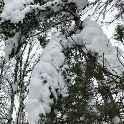 Lumisia puun oksia.