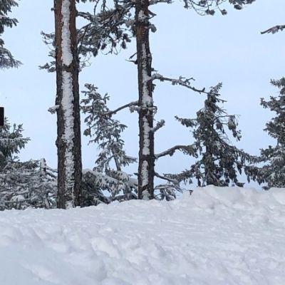 Hiihdon opasviitta lumessa.