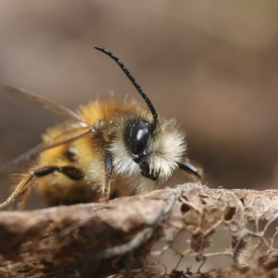 rusomuurarimehiläinen