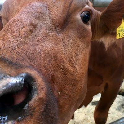 Lehmä.