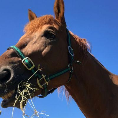 Hevonen syö heinää.