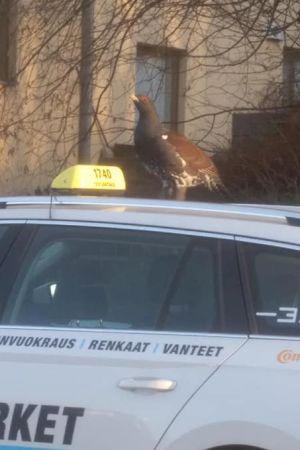 En tjädertupp sitter på taket av en vit taxibil.
