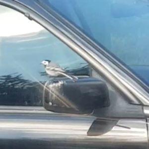 Två bilder på en sädesärla vid en bils sidospegel.