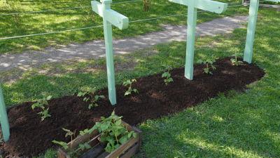 En rabatt med nyplanterade små hallonbuskar.