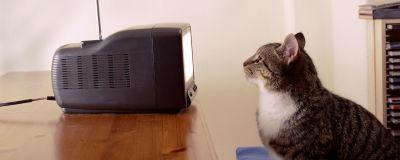 Foto från sidan på en gråsvart katt som tittar på en gammal liten tv med antenn. Man ser inte vad som syns på skärmen.