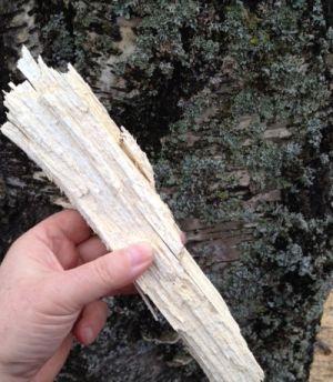 Ihmisen kädessä salaman irroittama puunpalanen, taustana koivun runko