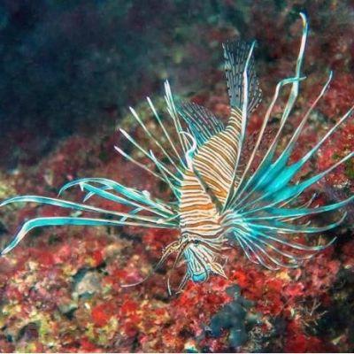 Piikikäs, monivärinen kala ui merenpohjassa.