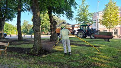 Person blåser bort jord kring trädrötterna med tryckluftsspade i en park.