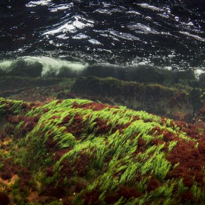 Undervattensfoto på sjögräs