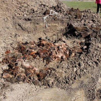 Lohjalaisella lammastilalla on muun muassa haudattu eläinten raatoja maahan.