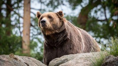En brunbjörn ser sig omkring bland stenar och träd.