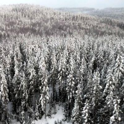 Lumista metsää.