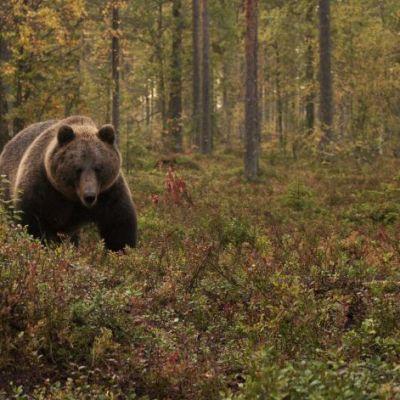 Karhu elokuvassa Ukonvaaja