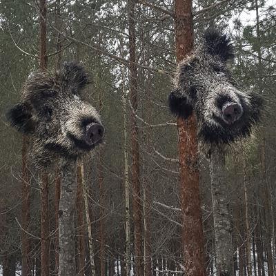 Vildsvinshuvud upphängda i träd