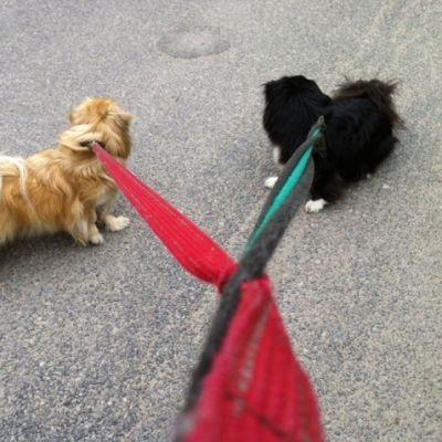 Koirien ulkoilutusta
