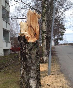 Salamaniskemän koivun tynkäkanto Ylöjärvellä asutuksen keskellä keväällä 2015