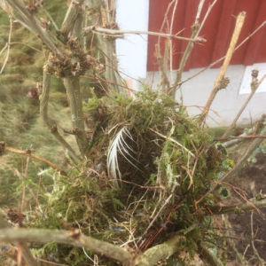 Riko har fotograferat ett fjolårsbo vid husknuten. Kan det vara svartvit flusnappares bo? En sån såg han flyga omkring huset förra sommaren.