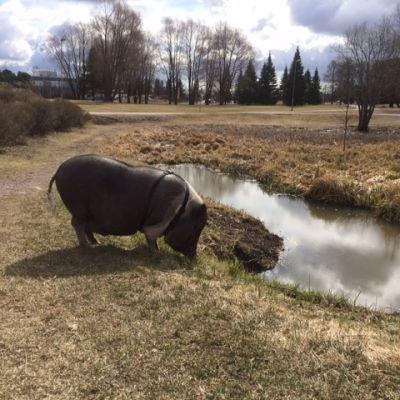 Minipossu Juti nauttii keväisestä päivälenkistä Järvenpään Rantapuistossa.