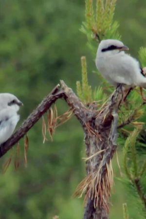 Kaksi isolepinkäistä istuu kuivuneella havunoksalla.