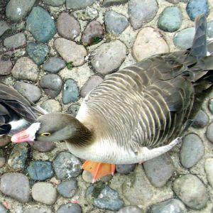 Fjällgåsen hör till de mest hotade arterna. De senaste åren har ingen fjällgås häckat i Finland. Foto: Wikimedia Commons