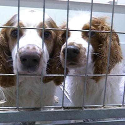 Kaksi koiraa koirapäiväkodin häkissä