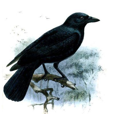 Uudenkaledonianvaris