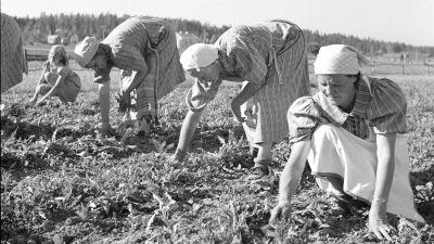 Marttoja juurikasmaalla (1.7.1941).