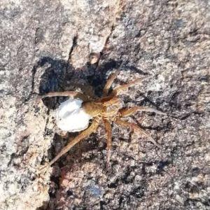 Amelie och hennes moster undrar vilken spindel det är på bilden.