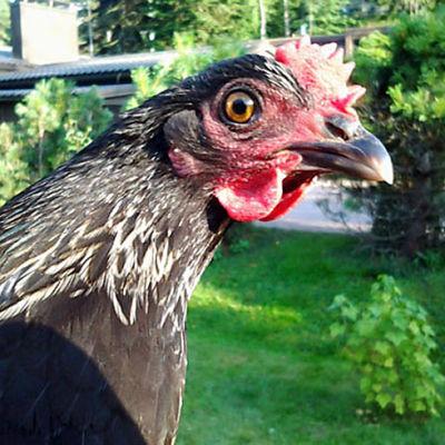 Kana nimeltä Luumu