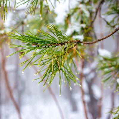 Vattendroppar på tallkvist, snö i bakgrunden