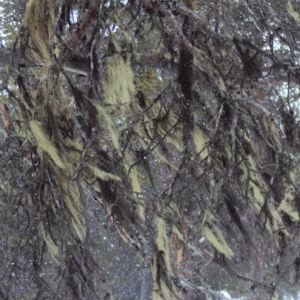 naavaa puun oksilla