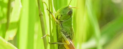 Grön insekt på grässtrå.