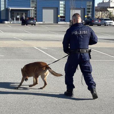 Poliisikoira harjoittelee jäljestystä.