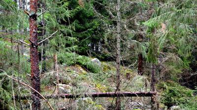 Snårig skog.