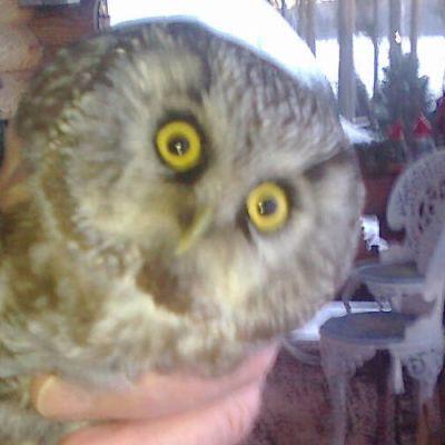 Pöllö ilmestyi Otto Uotisen kuistille sunnuntaiaamuna.