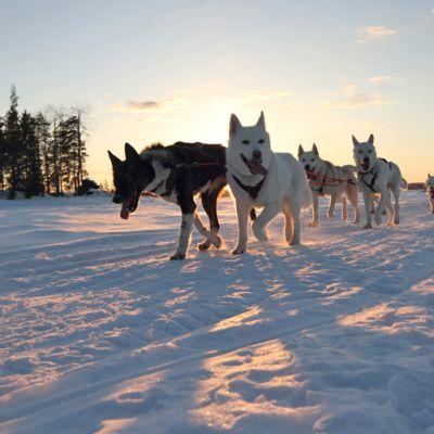 Koiravaljakko talvella.